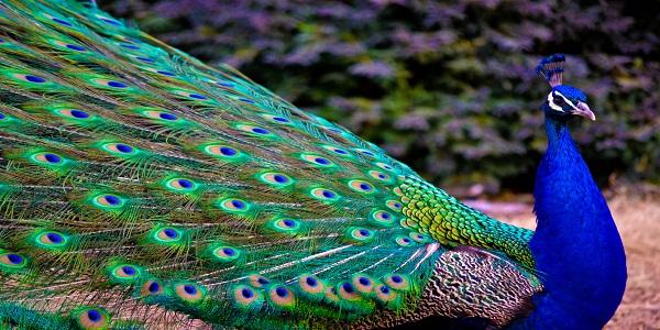 peacock-001