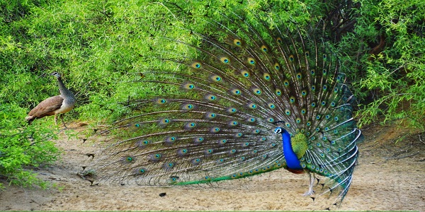 Experience The kandil Nights, bird watching, hurda parties & Peacock Lifestyle At Morachi Chincholi